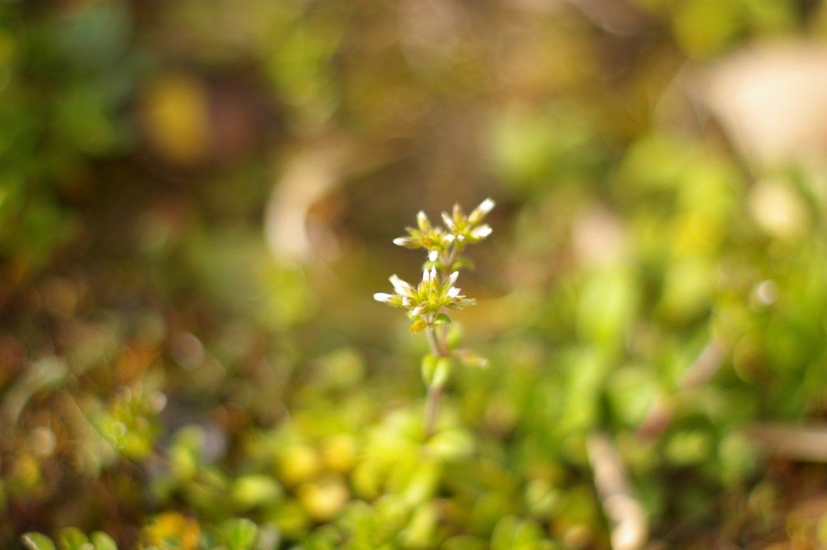 「日々雑草」オランダミミナグサ
