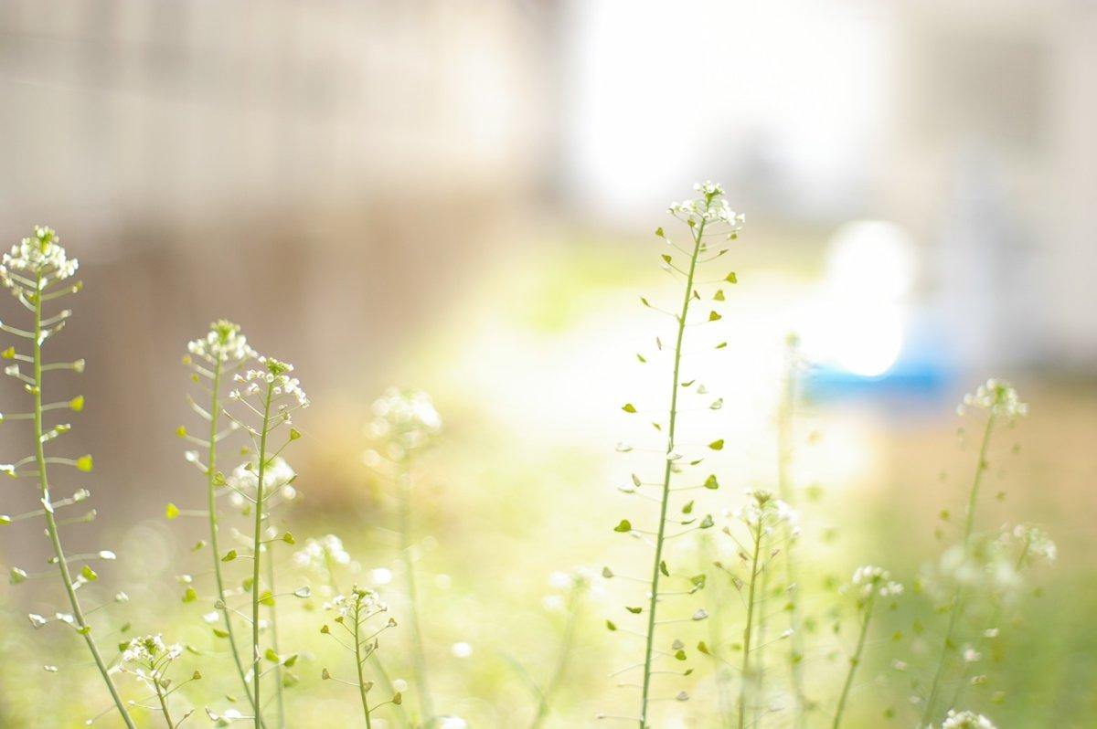 春の七草なずな