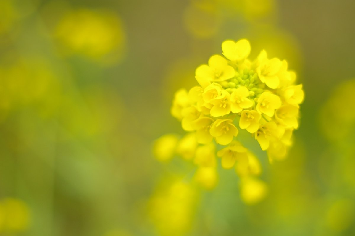 春の七草菜の花