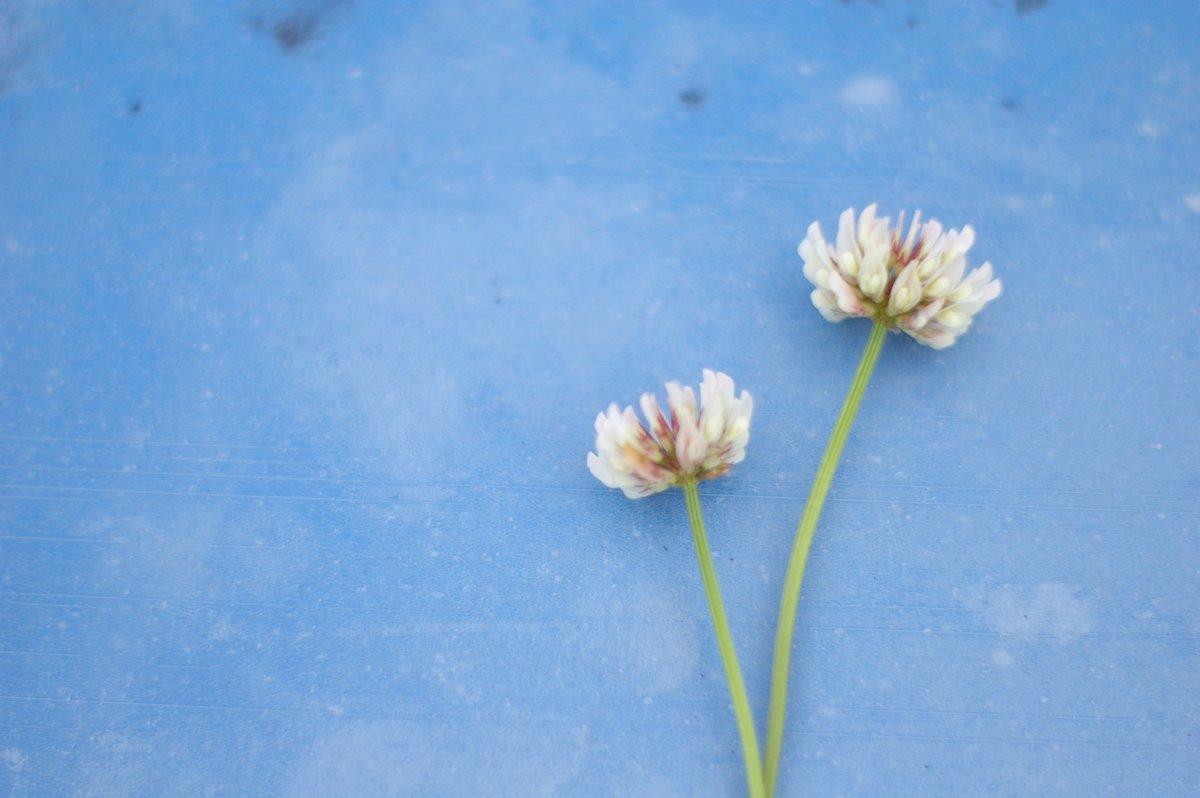 シロツメクサ春の草