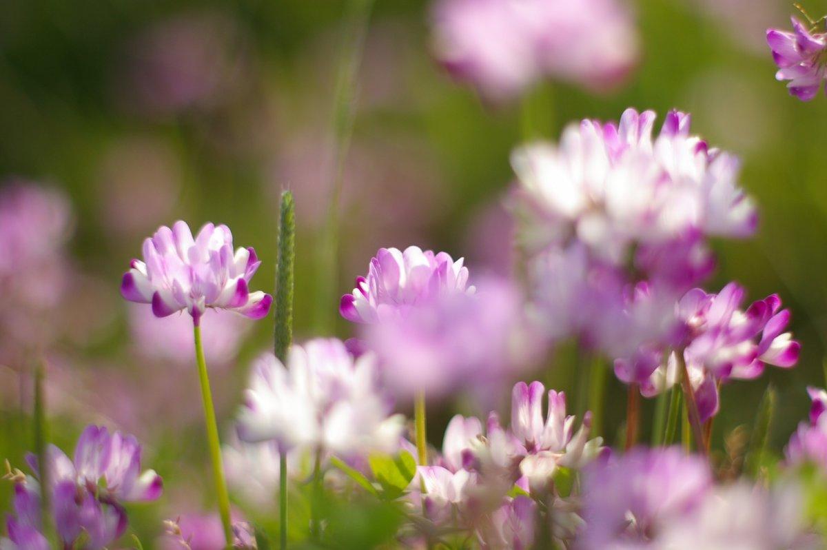 春の草レンゲ