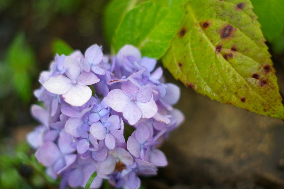 「日々雑草」紫陽花