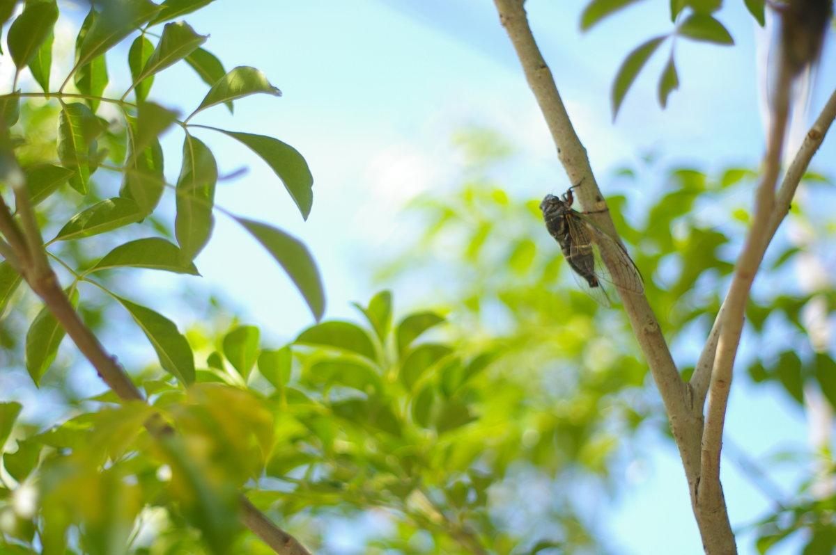 「そらの木々」ソヨゴ