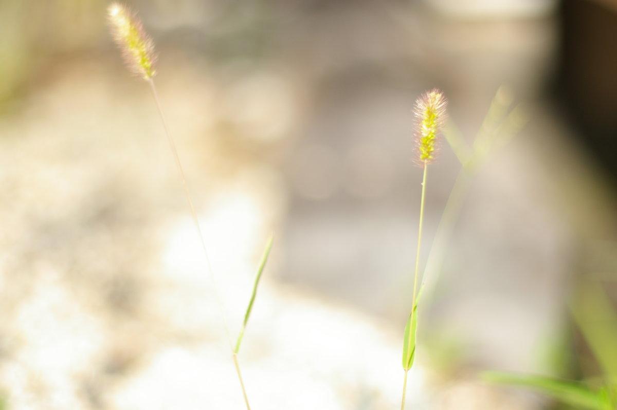 「日々雑草」エノコログサ