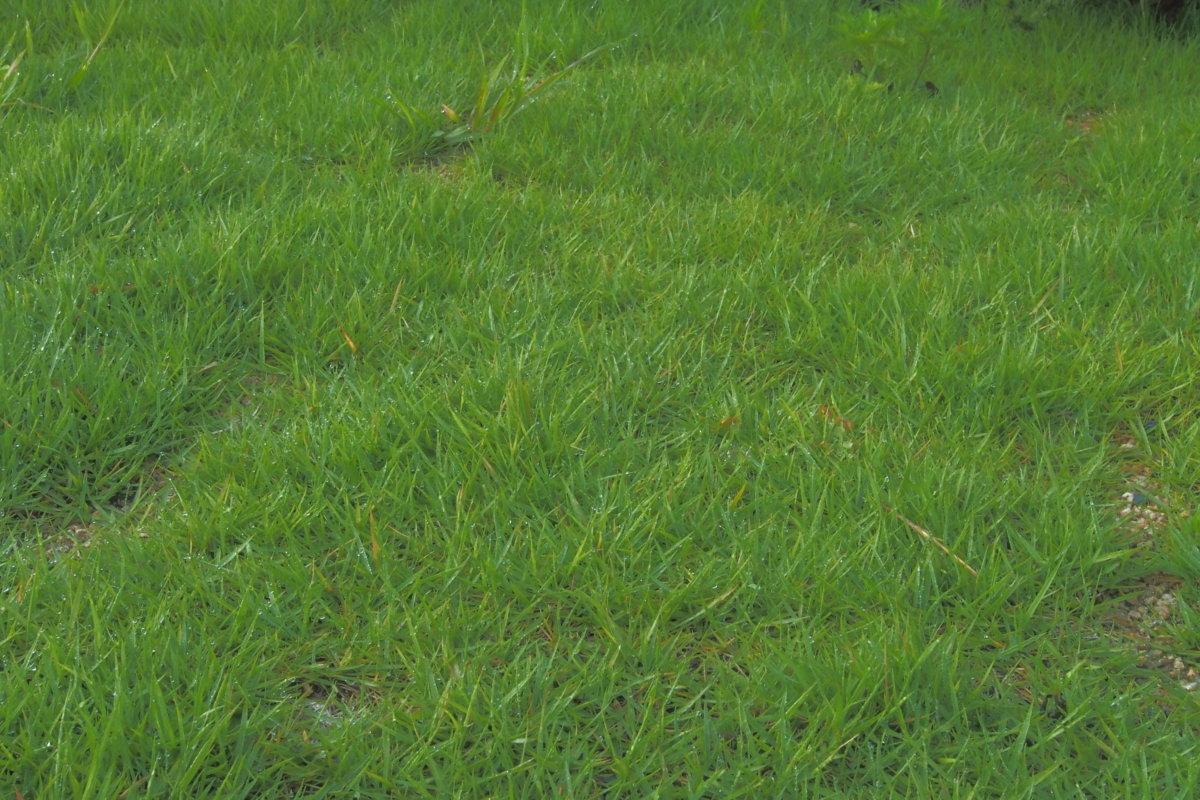 「日々雑草」野芝