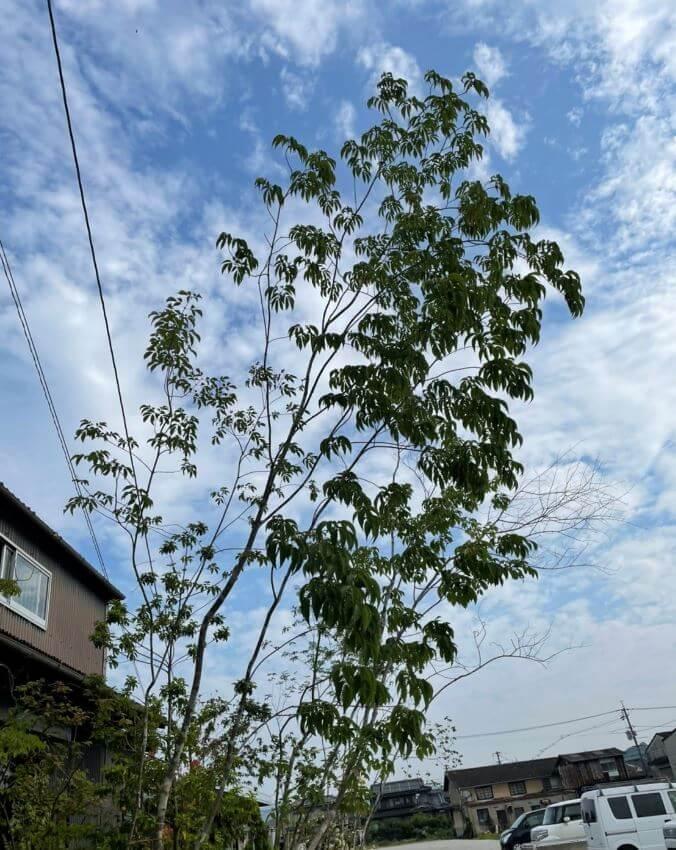 そらやの樹木「アオダモ」