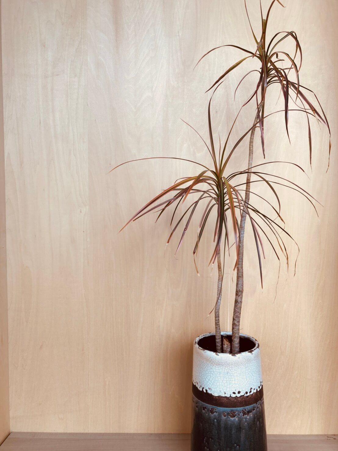 そらの木々「ドラセナ・コンシンネレインボー」